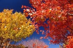 分支与五颜六色的秋叶槭树,蓝天 库存照片