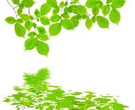 分支与在水反映的绿色叶子 库存图片
