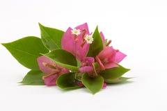 分支与在白色背景和花隔绝的叶子 在白色背景隔绝的花束 库存图片
