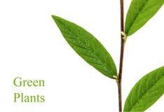 分支与在白色隔绝的绿色叶子 免版税库存照片