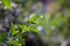 分支与在被弄脏的背景的绿色叶子 免版税库存照片
