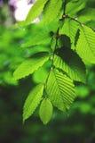 分支与在雨水滴的叶子  库存图片