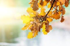 分支与垂悬在日落光强光的黄色秋叶 免版税库存图片