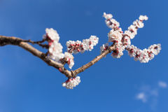 分支与开花和蓝天 库存照片