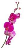 分支与明亮的大桃红色兰花绽放 免版税图库摄影