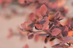 分支与明亮的红色叶子 免版税库存照片