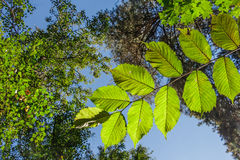 分支与核桃树叶子在森林里 图库摄影