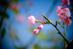 分支与桃红色佐仓开花花 在高地的自然本底 图库摄影