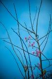分支与桃红色佐仓开花花 在高地的自然本底 免版税库存照片