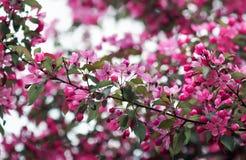 分支与桃红色芬芳花的苹果树也许从事园艺 库存图片