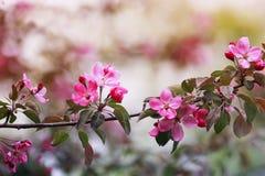 分支与桃红色芬芳花的苹果树也许反弹加尔德角 库存照片