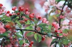 分支与桃红色芬芳花的苹果树在春天庭院里 库存照片