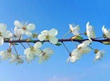 分支与樱花反对蓝天 库存图片