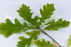 分支与橡木绿色叶子  免版税图库摄影