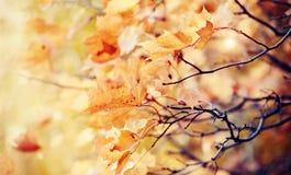 分支与秋天黄色槭树叶子 免版税库存照片