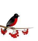分支与莓果野生灰和鸟红腹灰雀 库存图片