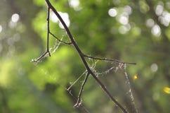 分支与蜘蛛网 库存照片