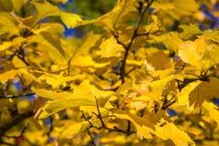 分支与黄色叶子 库存图片