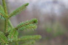 分支冷杉绿色结构树 图库摄影