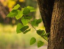 分支分流许多大绿色叶子的一个巨大的橡树 库存图片