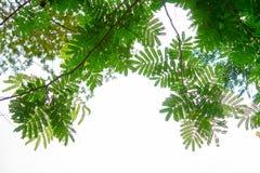 分支和叶子是绿色的在白色背景 库存照片