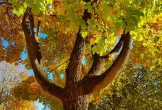 分支和树干与秋天槭树明亮的黄色和绿色叶子反对蓝天背景 底视图 免版税库存照片