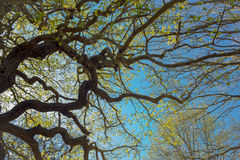 分支在春天从下面有蓝天的 免版税图库摄影