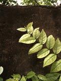 分支在混凝土墙上的叶子孤立 免版税库存图片