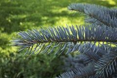 分支在绿色背景的蓝色云杉 免版税库存图片