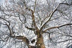 分支多雪的结构树 图库摄影