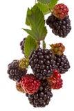 分支大黑莓 免版税库存图片