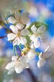 分支对开花的aple树 免版税图库摄影