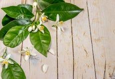 分支开花的柠檬树 库存照片