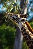 分支提供的长颈鹿 库存照片