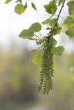 分支春天开花的白杨木森林背景 库存照片