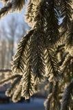 分支树冰杉木 库存图片