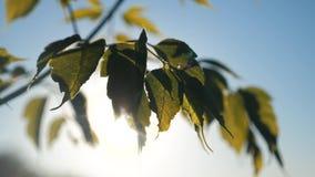 分支树枫叶天空蔚蓝 在日落生活方式槭树分支的阳光与在风的绿色叶子摇动 股票录像