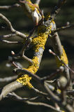 分支树的构成与黄色地衣的 免版税库存照片