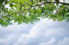 分支树绿色叶子和云彩蓝天背景 库存图片