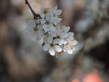 分支树花春天蜂白色瓣花蜜庭院自然背景 免版税库存图片