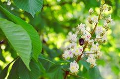 分支栗子特写镜头 以绿色叶子为背景的白色栗子花 免版税库存图片