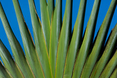 分支棕榈树 库存图片