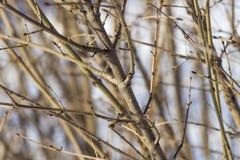 分支灌木冬天 免版税库存照片