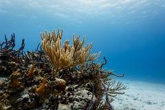 分支珊瑚特写镜头在热带礁石的在清楚的蓝色加勒比海 库存图片