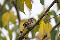 分支生锈的秋天的美丽的鸟 库存照片