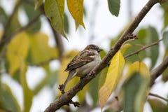 分支生锈的秋天的美丽的鸟 免版税库存图片