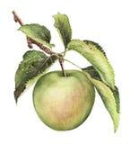 分支用一个绿色苹果和叶子 免版税库存图片