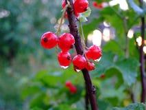 有雨珠的果树叶子 免版税图库摄影