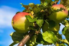 分支用在蓝天背景的成熟苹果  免版税图库摄影
