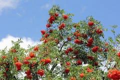 分支用成熟花楸浆果,山梨aucuparia 免版税图库摄影